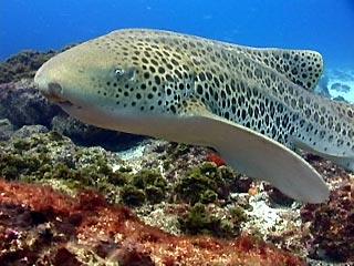 Leopard shark stegastoma fasciatum julian rocks byron bay - Dive byron bay ...