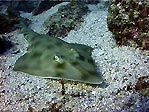Eastern Shovelnose Ray at Julian Rocks, Byron Bay