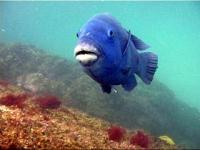 The friendly blue gropers are many divers favourites