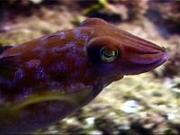 The amazing cuttlefish - always changing colours