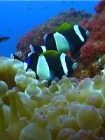 The beautiful dusky anemone fish