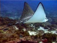 The graceful white-spotted eagle ray
