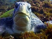 One of our friendly green turtles