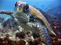 A green turtle comes up to say hello