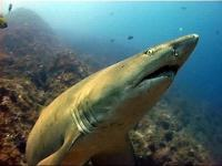 The grey nurse shark - totally harmless and critically endangered
