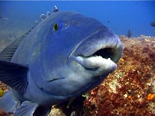 http://www.planula.com.au/wp-content/gallery/diving_conditions_gallery/week27blue_groper.jpg