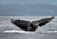 Whale watching in Byron Bay is becoming a very popular activity from June to October