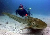 The graceful leopard sharks are amazing to encounter
