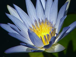 Water lilly in our pond
