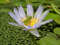 Bright water lily on our pond