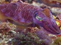 Changing colours is a cuttlefish's strength