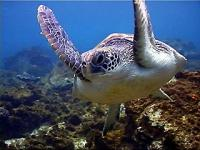 Gracefully swimming green turtle