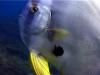 Tall-fin Batfish
