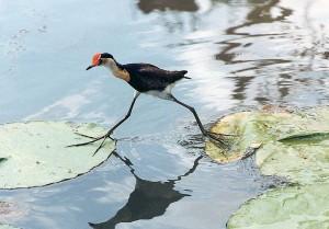 Irediparra-gallinacea